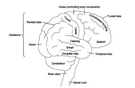 Figure 1 The Lobes of the Brain. The brain consists of several major sections or lobes. These include the frontal, parietal, occipital, temporal, and cerebellum.