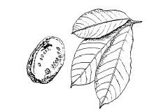 Figure 1 Cacao Leaves and Pod