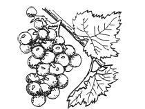 Figure 1 Grapes