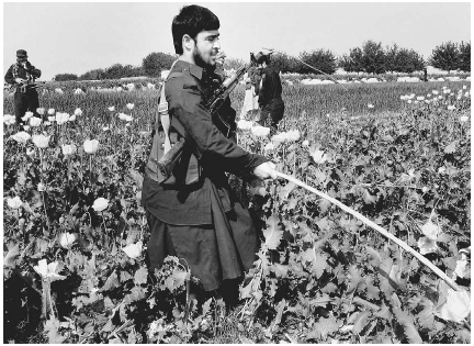 Morphine is a natural product of the opium poppy plant. Much of the opium sold illegally throughout the world is grown in Afghanistan. As shown here, Afghan police destroy a poppy crop in 2005. AP/Wide World Photos.
