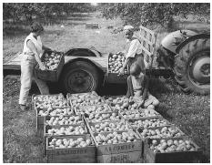 Harvested apples at Brogden Farm in Kent, England, are being boxed for distribution to the London market. Kent lies at the center of Britain's apple-growing region. © HULTON-DEUTSCH COLLECTION/CORBIS.