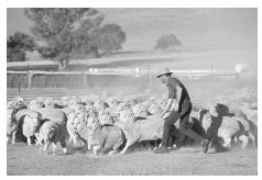 Shepherd Peter Coble at the Narra Allen sheep station north of Boorowa, Australia, prepares to dose Merino sheep in the paddock. Sheep raising is one of Australia's major agricultural industries. © PAUL A. SOUDERS/CORBIS.