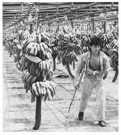 Banana ripening facility for Chiquita Brands International in Costa Rica. The bananas are ripened artificially and processed for export. COURTESY AP/WIDE WORLD PHOTOS.
