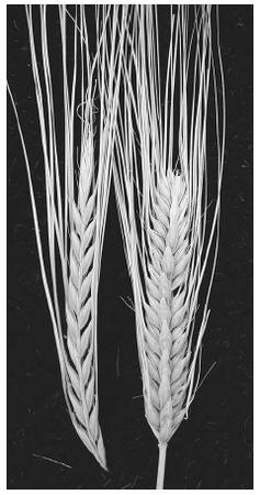 Barley spikes from two-rowed and six-rowed types. PHOTO COURTESY OF DAVID GARVIN, USDA-ARS>.