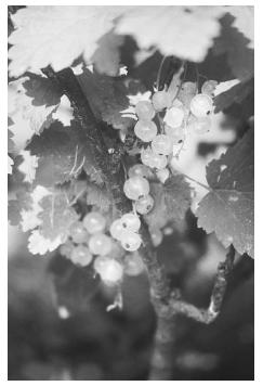 The Witte Hollander or White Dutch Currant, one of the oldest strains of white currants surviving from the late 1600s. It was developed in Holland and introduced into English and American gardens in the 1720s. ROUGHWOOD SEED COLLECTION, PHOTO WILLIAM WOYS WEAVER.