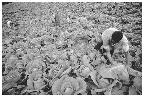 Cabbage figures prominently in the diet of Caribbean and Central American countries. These cabbage fields are in the mountainous region of Valle Nueva near Constanza, Dominican Republic. © RICHARD BICKEL/CORBIS.