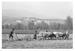 The use of cattle as draught animals has declined considerably since the introduction of tractors, but in rural Romania it is still a common sight. This team of bullocks is at work in fall plowing in the village of Hobbitza. © ADAM WOOLFITT/CORBIS.