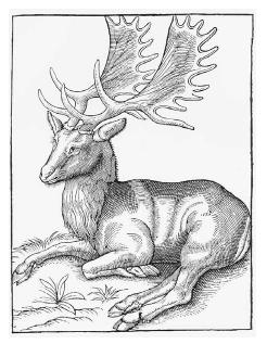 The fallow deer as depicted in Edward Topsell's Historie of Fourefooted Beasts (London, 1658). The fallow deer was one of the most prized game animals of the medieval hunt. ROUGHWOOD COLLECTION.