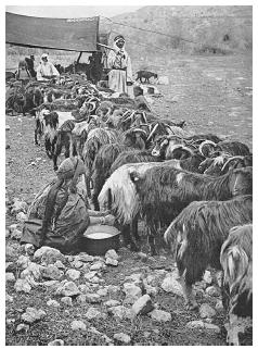Milking a goat herd in Palestine, circa 1915. While men or boys may have tended the goat herds, it was the traditional role of the women to milk the goats and to make goat cheese. ROUGHWOOD COLLECTION.
