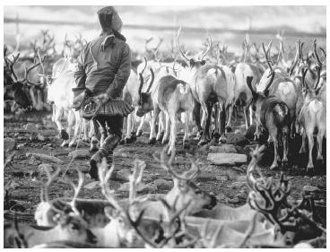A Lapp herding reindeer on the tundra near Arrisovarre, Norway. © FARRELL GREHAN/CORBIS.