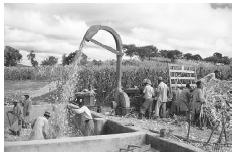 Maize has become an important agricultural crop throughout Africa. These farm workers in Zimbabwe are harvesting maize on a cooperative. © HULTON-DEUTSCH COLLECTION/CORBIS.