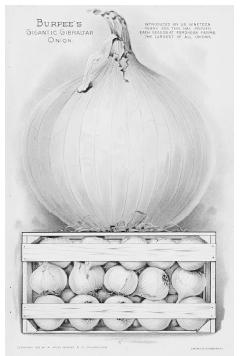 Giant-sized onions became popular toward the end of the nineteenth century, due in part to the fame of the Giant Zittau onion of Germany. Burpee's Giant Gibraltar onion was an attempt to breed an American counterpart to that highly successful variety. Chromolithographic advertisement from a Burpee seed catalog. © CYNTHIA HART DESIGNER/CORBIS.