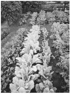 Rows of parsnips, carrots, beets, and spinach are shown in these organic vegetable plots at Ryton, near Coventry, England.  MICHAEL BOYS/CORBIS.