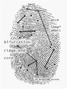 Identifying characteristics of a fingerprint.  DIGITAL ART/CORBIS
