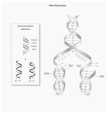 Diagram depicting semiconservative DNA replication.