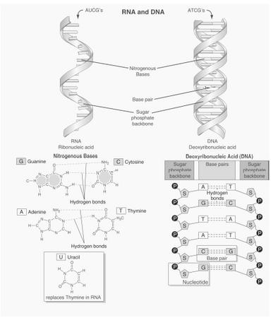 Diagram showing specific base pairing found in DNA and RNA.