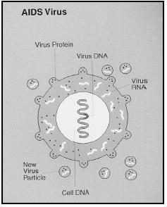 The AIDS virus. (National Institutes of Health. Reproduced by permission.)