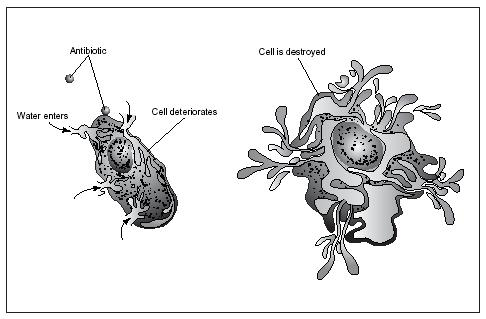 Different antibiotics destroy bacteria in different ways. Some short-circuit the processes by which bacteria receive energy. Others disturb the structure of the bacterial cell wall, as shown in the illustration above. Still others interfere with the production of essential proteins.(Illustration by Electronic Illustrators Group.)