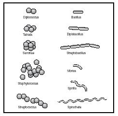 Morphology and arrangement of bacterial cells. (Delmar Publishers, Inc. Reproduced by permission.)