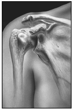 The shoulder joint is supported by the scapula (shoulder blade) and the clavicle (collar bone). The humerus (upperarm bone) articulates with the glenoid cavity in a ball and socket type joint. (David Gifford. Science Source/Photo Researchers. Reproduced by permission.)