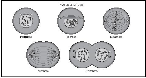 Phases of mitosis. (Gale Research.)