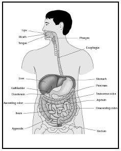 The parts of the human gastrointestinal tract. (Delmar Publishers, Inc. Reproduced by permission.)