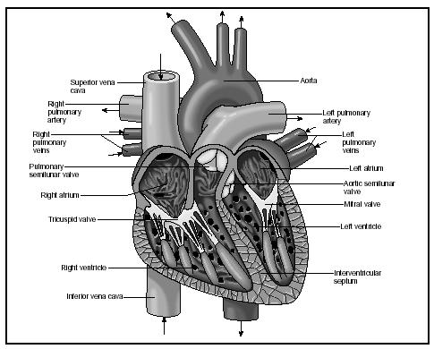 Cross section of the heart. Arrows indicate the direction of blood flow. (Delmar Publishers, Inc. Reproduced by permission.)