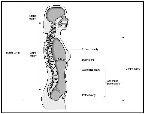 The major body cavities. (Delmar Publishers, Inc. Reproduced by permission.)