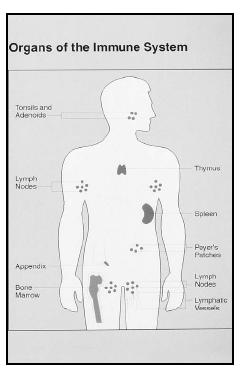 The organs of the immune system are located throughout the body. (National Institutes of Health. Reproduced by permission.)