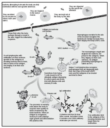 Immune system. (Illustration by Hans & Cassidy. Courtesy of Gale Group.)