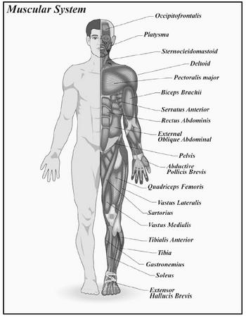 The muscular system, frontal view. (Kopp Illustration, Inc. Reproduced by permission.)