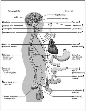 The autonomic nervous system (ANS). (Delmar Publishers, Inc. Reproduced by permission.)