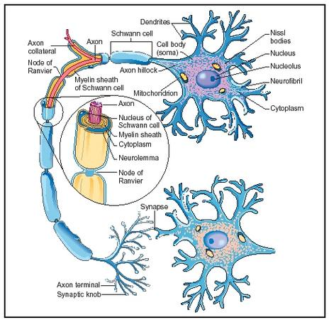 Neuron. (Diagram by Hans & Cassidy. Courtesy of Gale Group.)
