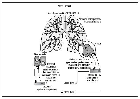 The functions of ventilation and respiration in the respiratory system. (Delmar Publishers, Inc. Reproduced by permission.)
