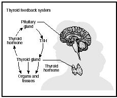 The thyroid gland produces T4 and T3 in response to a production of thyroid stimulating hormone (TSH) from the pituitary gland. (Delmar Publishers, Inc. Reproduced by permission.)