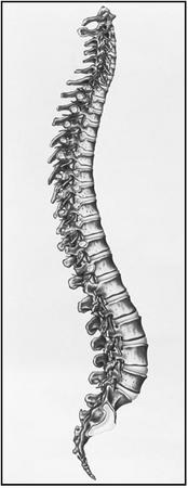 The vertebral column consists of 33 vertebrae: seven cervical (at the top), twelve thoracic, five lumbar, five fused sacral, and four fused coccyx. (Photograph by John Bavosi. Science Source/Photo Researchers. Reproduced by permission.)